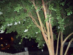 Flowery Tree on Constance Street