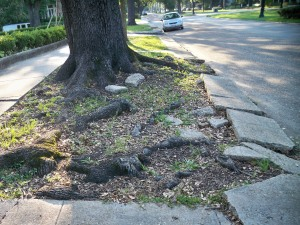 Oak Tree Roots Through the Sidewalk