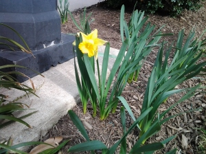Blooming Daffodil at Harbor East