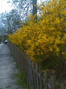 Yellow Flowers Along a Fence on 31st Between Old York Road & Frisby