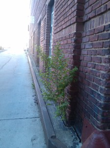 Tree Growing Out of a Building on Tyson Near Mulberry