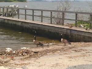 Trash, Geese, and Goslings on a Pier on the Gwynns Falls Trail Near Broening Park