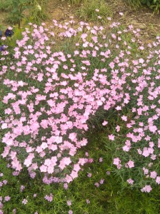 Pink Flowers in Charles Village