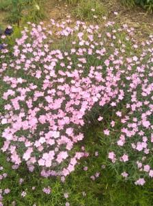 Pink Flowers in Charles Village