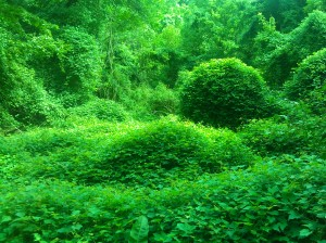 Ivy Covered Ivy in Herring Run Park Near Belair Road & Parkside Drive