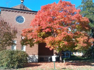 Giant Red Tree at the Convent at Ellerslie & Parkwyth