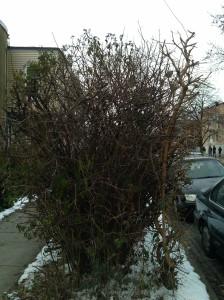 Birds in a Bush at Barclay & E. 32nd