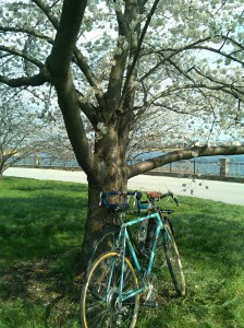 Two Bikes Snuggling Under a Flower Tree at Druid Hill Park