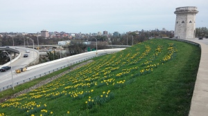 Daffodils at Druid Hill Park Overlooking I83