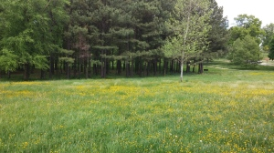 Field of Yellow Flowers at Druid Hill Park