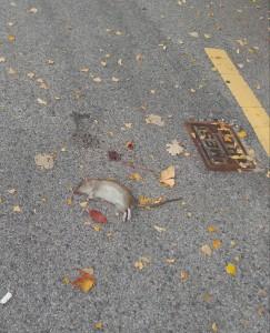 Dead rat